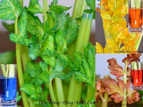 close up of celery leaves after 36 hours