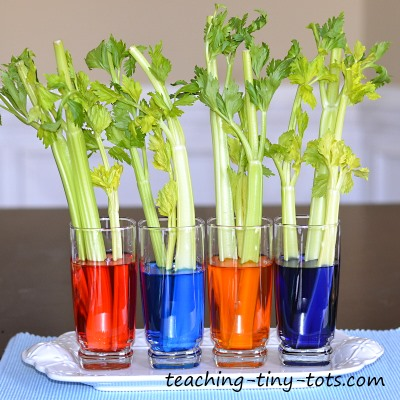 Celery Experiment, Learn How Plants Absorb Water in this